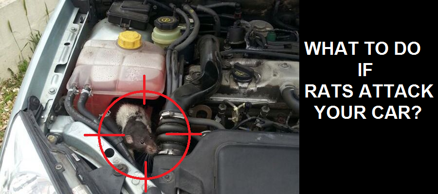 What to do if Rats your Car? - ZigWheels Forum Rat Chewing Vehicle Wiring Harness on
